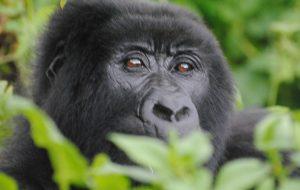 Bwindi Mountain Gorilla trekking