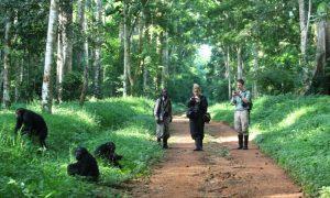 Budongo Chimpanzees